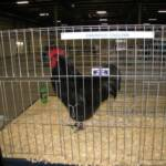 Res Super Grand Champion, Champion LF Black Australorp  by Jackie & Vanessa Koedatich