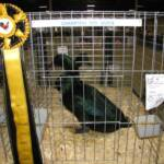 Champion Medium Duck  Black Cayuga by Rick Hare