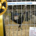 3rd Best Bantam Champion Modern Game Birchen P by Traver Farm