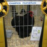 Champion Featherleg Black Cochin K by Tom Roebuck