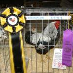 Reserve Grand Champion Silver Penciled Rock K by Brian Lewis